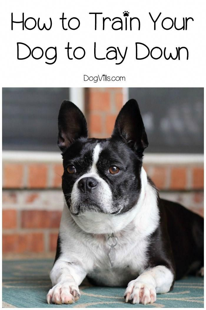 How To Train Your Dog To Lay Down In 7 Steps Dog Training Training Your Dog Puppy Training