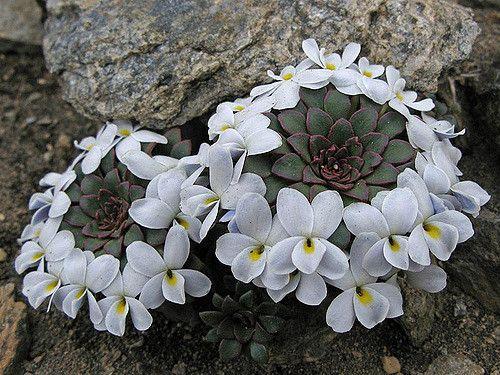 https://flic.kr/p/4q6gY5 | [Violaceae] Viola sacculus Skottsb. | Cette photo a été prise en janvier 2008 en Patagonie argentine (Parc national Nahuel Huapi). Elle est diffusée par la Station Alpine Joseph Fourier (France). © S. Aubert/SAJF.