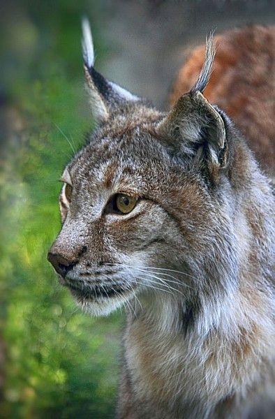 Lynx, lynx d'Europe, lynx boréal, loup cervier, lynx lynx, félidés, mammifères, vertical, photo hervé Christophe  www.panorama-volcanic.fr
