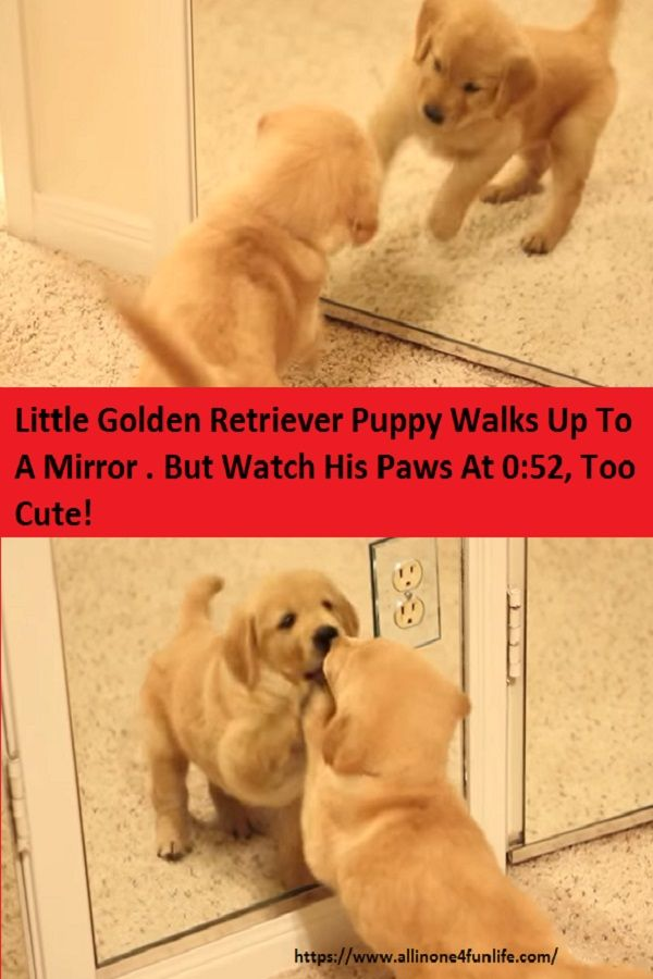Little Golden Retriever Puppy Walks Up To A Mirror But Watch His