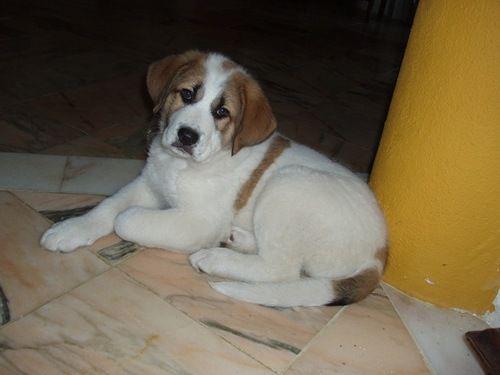 Rafeiro Do Alentejo - health (puppies)