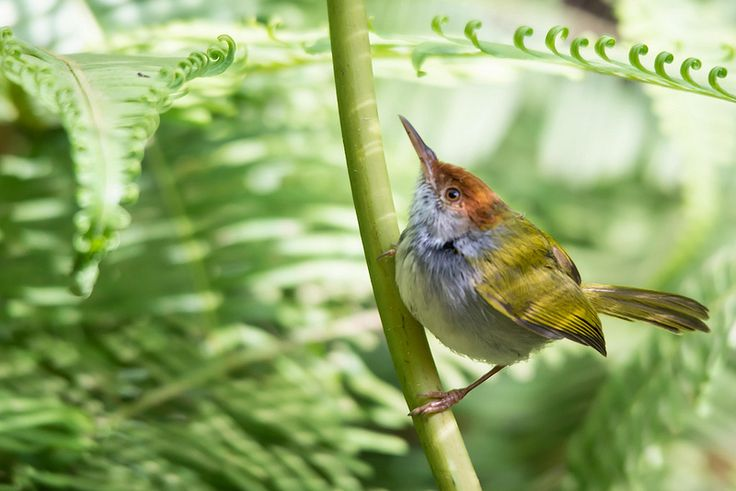 Orthotomus atrogularis, dark-necked tailorbird - Kaeng Krachan National Park