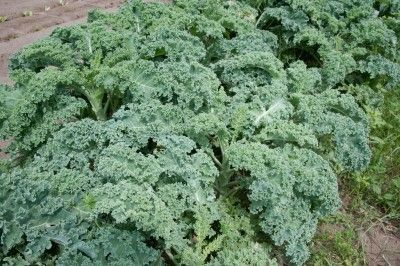 Picking Kale: How To Harvest Kale - Kale is basically a cabbage type vegetable that does not form a head. Kale is tasty when cooked or kept small to use in salads. Learn how to harvest kale at the right time to encourage the most flavorful leaves.