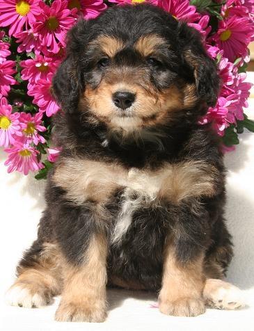 Bernese Mountain Dogs/ mini Poodle.. ? HUH ?