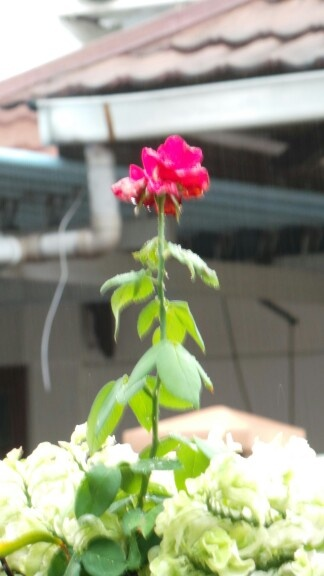 The flower at the beauty and the beast...hihihiii rose in the raib