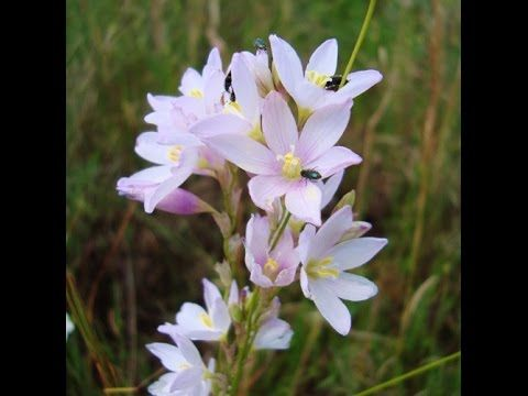 Ixia trifolia in nature - beautiful species of African bulbs