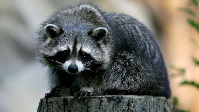 Rabid Raccoon Is No Match For Fearless Maine Woman
