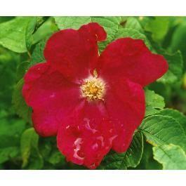 CARMEN (Rugosa. Peter Lambert, Tyskland 1907)  'Carmen' har stora, enkla, skålformade blommor. Blommorna sitter oftast i klasar. Karminrö...