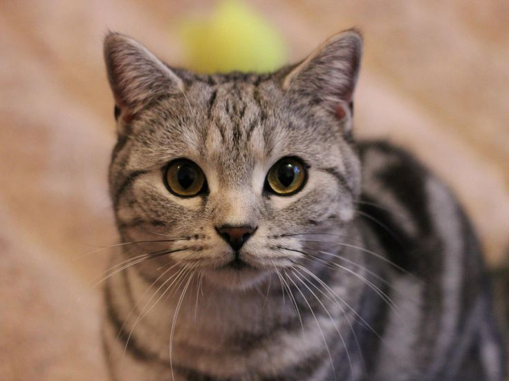 Willow Silver Tabby BSH