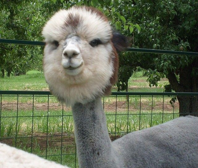 I have no words. Here Are 12 Shaved Alpacas That Will Change The Way You Look At The World