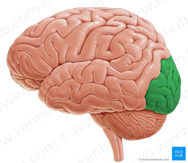 Occipital lobe (затылочная доля)