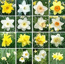 Narcissus /nɑrˈsɪsəs/ is a genus of predominantly spring perennial plants in the Amaryllidaceae (amaryllis) family. Various common names including daffodil,[notes 1] daffadowndilly, narcissus, and jonquil are used to describe all or some members of the genus. Order:	Asparagales Family:	Amaryllidaceae Subfamily:	Amaryllidoideae Tribe:	Narcisseae Genus:	Narcissus