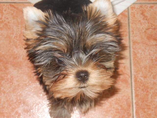 Cuccioli yorkshire terrier con pedigree