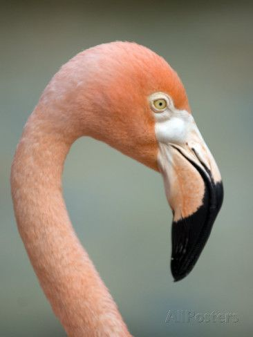 Pink Flamingo in Curacao, Netherlands Antilles, Caribbean, Central America Photographic Print