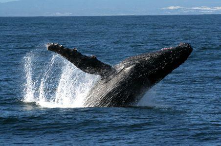 HUMPBACK whale-south-africa.jpg