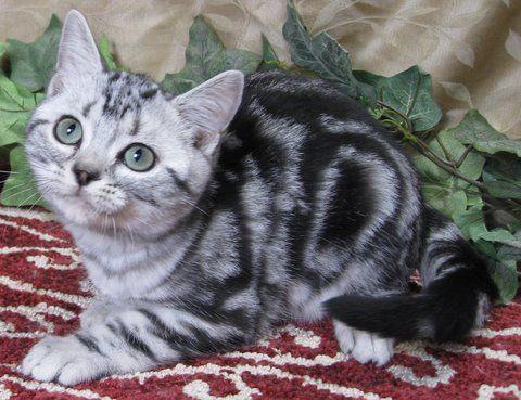 American shorthair kittens for sale houston