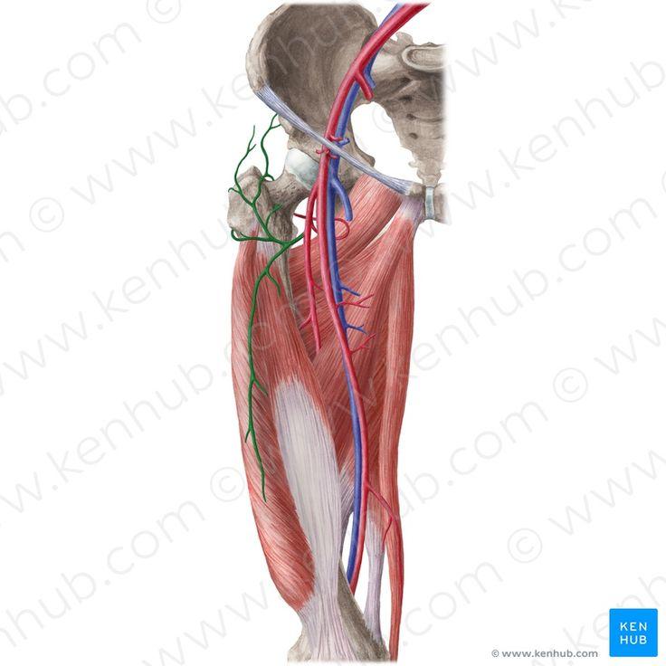 1070 besten Anatomi Bilder auf Pinterest | Stillen, Anatomie und Kreise
