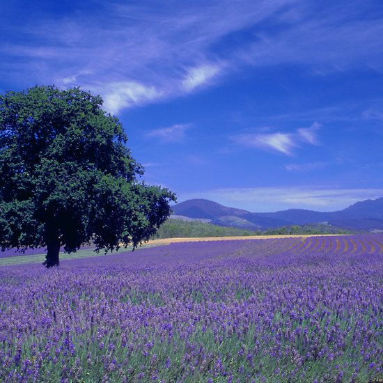 The Bridestowe Estate Lavender Farm, Tasmania, Australia