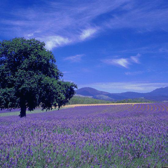 The Bridestowe Estate Lavender Farm, Tasmania, Australia