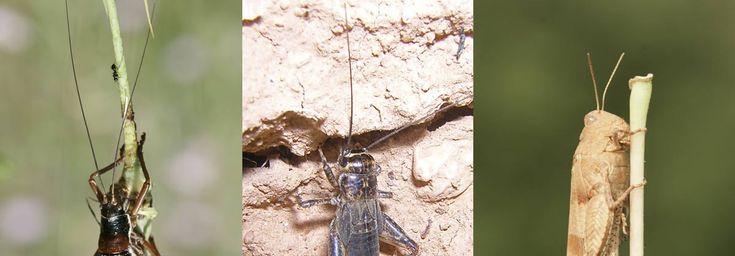 antennes fines et longue  régime alimentaire varié mots clé : caractéristiques,mode de vie,reproduction.