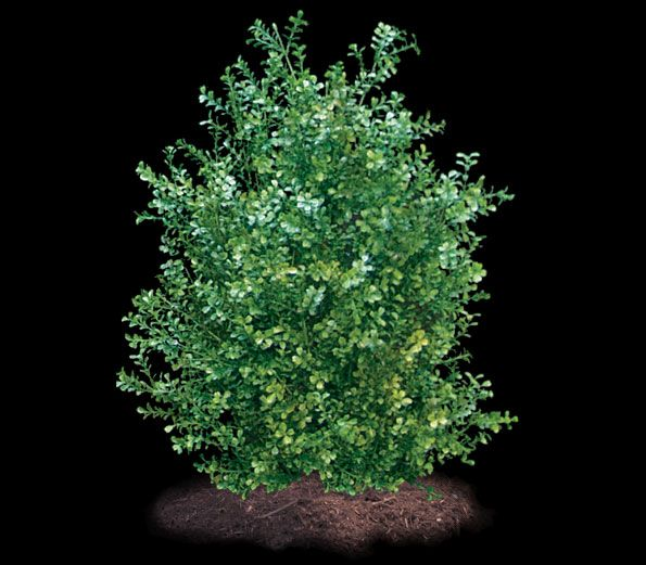 Commercial Silk Int'l is a worldwide leader in the manufacturing of outdoor artificial plants, such as our artificial Boxwood Bush. Our artificial outdoor Boxwood plants are UV inhibited, and are available for commercial landscape projects outside.