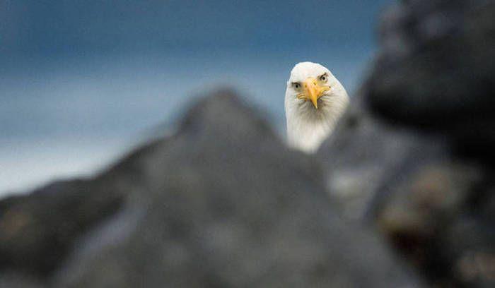Белоголовый орлан, Аляска. Автор фотографии: Вилл Саундерс (Will Saunders). - ПоЗиТиФфЧиК - сайт позитивного настроения!