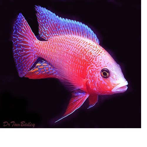 Strawberry Peacock Cichlid | Freshwater: Cichlids | Pinterest