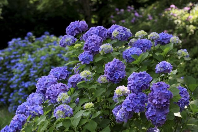 Hydrangeas need pruning, to keep them flowering profusely. The real question is when to prune which type of hydrangea. Here's some help.