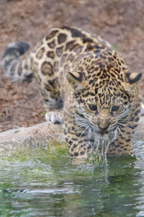 Valerio the jaguar Cub learning to fish. by LisaDiazPhotos
