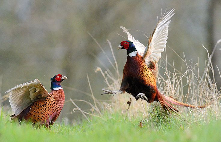 As spring turns to summer, male pheasants are fighting for feeding grounds and females on farm land in Hertfordshire, England