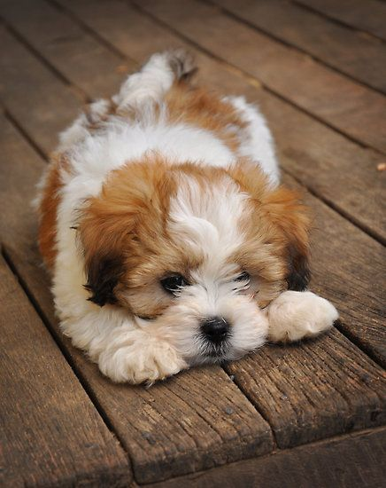 maltipoo - it's like a cross between a white teddy bear and a tiny bernese mtn dog