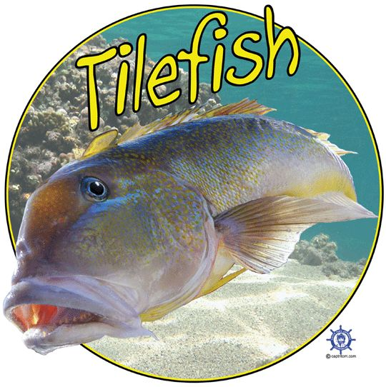 A tilefish t shirt design at: http://www.captntom.com/fishing-t-shirt-boatique/shop/3232-tilefish-t-shirt/ - You'll find over 200 cool fishing, boating, hunting, funny and other t shirts here. Click image to comment on this design. Please Repin. #Captntom #Tilefish #TilefishFishing #SaltwaterFishing #Fishing #FishingTshirts