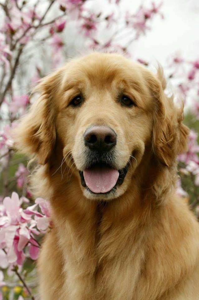Looking at a Golden Retriever  makes my day instantly better!