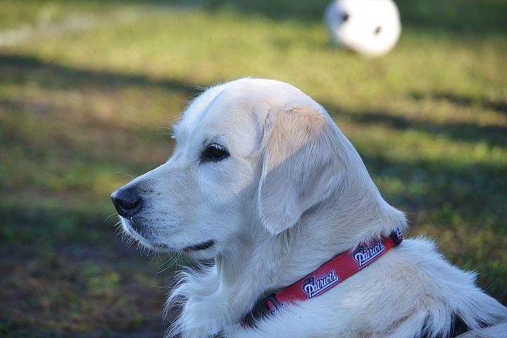 Golden Retriever Dog Friends Cute Dogs Images Dog Brain