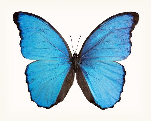 Butterfly Photo No. 17 - Morpho didius - Blue Morpho Butterfly Print