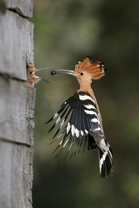 Poupa Hoopoe (Upupa epops) is a colourful bird that is found across Afro-Eurasia, notable for its distinctive 'crown' of feathers.