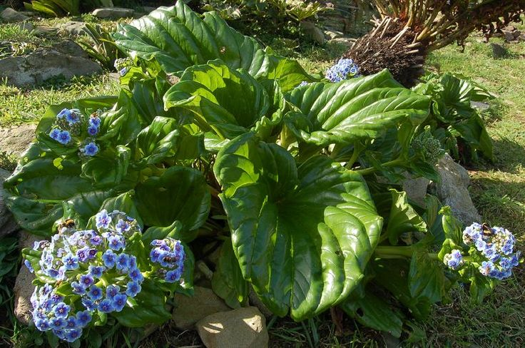 Mysotodium - Chatham Island Forget me not  * Grows to 40cm tall and 40cm wide  * Dramatic large fleshy foliage on this plant creates year round interest, with its crowning glory being the heavenly blue flowers produced in Spring - a stunning sight. Quick growing in the right site.  * Enjoy rich, moist but well drained soil  * Needs a cool site hidden from the sun  * Frost tender and is coastal tolerant