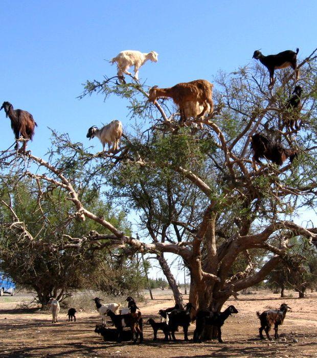 Au Maroc, ces chèvres sont montées en haut d'un arbre. Mais comment sont-elles redescendues ?