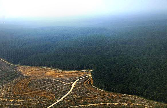 Indonesia Tops Brazil in Rainforest Destruction and It's All Our Fault!  Demand is soaring for palm oil, an ingredient found in half the products sold at the local supermarket. Indonesia already ranks as one of the world's top carbon emitters. Now a new study shows the country's rate of tropical deforestation is the highest on the planet and more than previously reported by the Indonesian government.