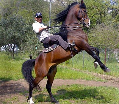 Anglo Arabo Sardo. Sardinian Anglo Arab. In 1874 The Ozieri Army Remount Station was established to supply mounts for the cavalry units of the Italian Army. To produce horses suitable for the cavalry, indigenous Sardinian mares were crossed with oriental-bred stallions such as the foundation sire Osmanié, and, starting from 1883, also with French-bred Anglo-Arabian stallions. Img: IL PORTALE DEL CAVALLO - razze equine