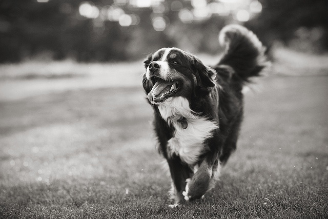 A happy, running Bernese Mountain Dog. Outside by anthonyhelton.com, via Flickr. Photo by Anthony Helton.: Bern Mountain Dogs, Bernese Mountain Dogs, Animal 3, Dogs Animal, Puppies Dogs, Dogs Bern, Happy Dogs, Animal Natural Plac, Furry Friends