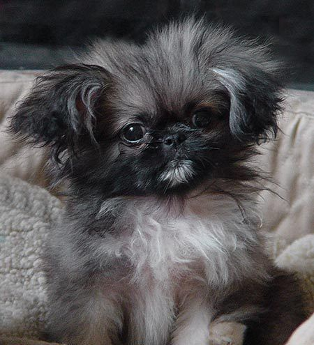 One day i will have a pekingese!!
