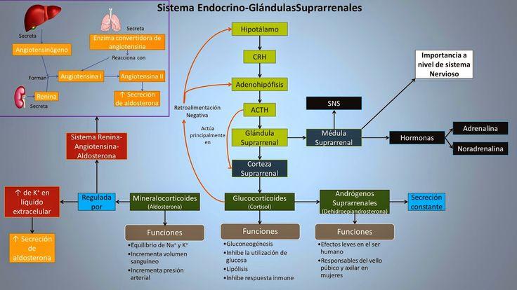 Resultado de imagen para fisiologia de las glandulas suprarrenales