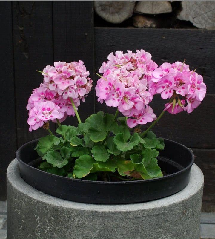 Zimowanie Pelargonii Jak Przechowywac Kwiaty Balkonowe Przez Zime Zielony Ogrodek Plants Floral Wreath Floral