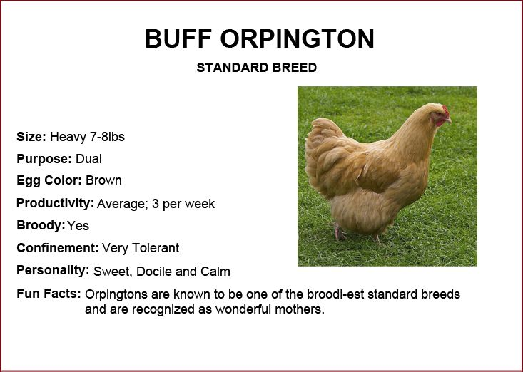 Chicken Breeds - Buff Orpington