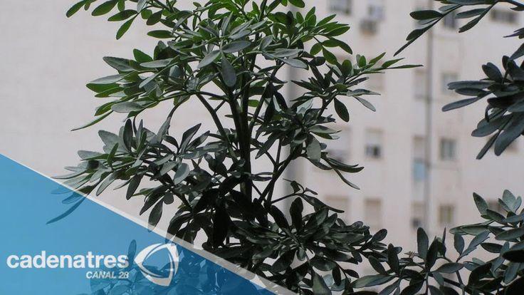 Beneficios de la ruda / Ruda, planta medicinal