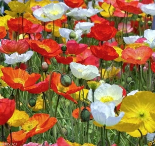 Iceland Poppy seeds Mix,Pink,Yellow,Orange,Rose,White,Cream and Bicolors garden decoration plant free shipping 100pcs P56