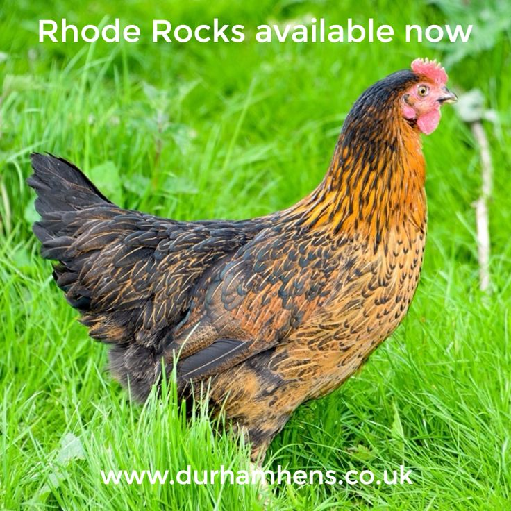Rhode Rocks available now at Durham Hens www.durhamhens.co.uk/