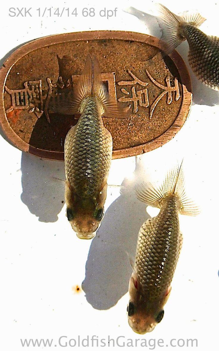 Goldfish pond species decor references - Goldfish Garage A Two Car Fishroom Sxk 1 14 14 68 Dpf