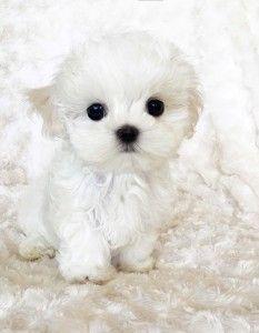 Platinum Puppy Micro Maltese XXS